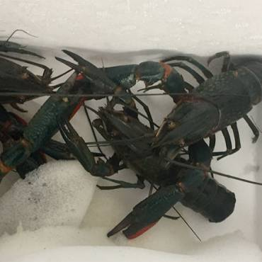 Freshwater Lobster: Crayfish Supplier Indonesia